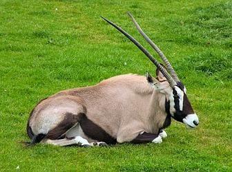 Африканская антилопа - удивительное животное жаркого континента