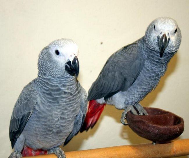 Африканские попугаи жако