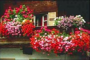 Ампельная герань - отличный вариант для оформления окон и балконов