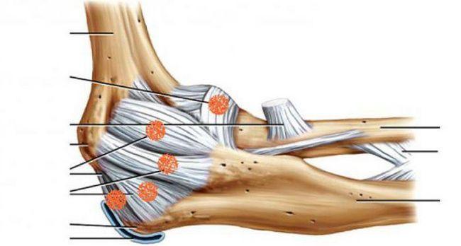 анатомия локтевого сустава лимфоотток