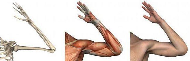 анатомия локтевой сустав