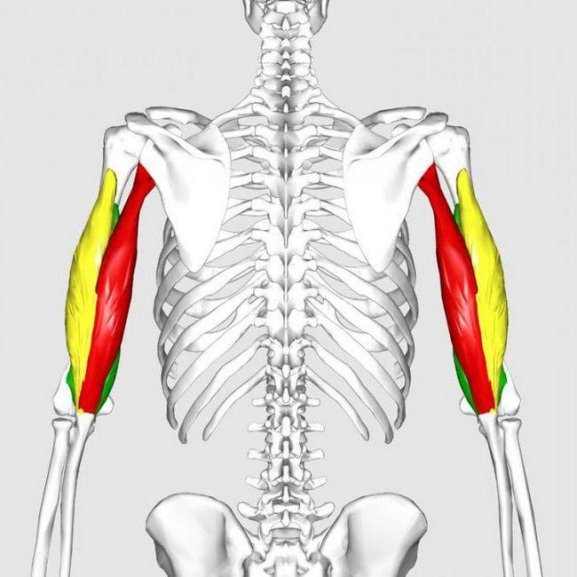 кровоснабжение локтевого сустава анатомия