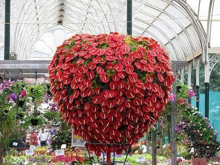 антуриум цветок любви