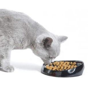 Аристократический питомец, или чем кормить британских кошек