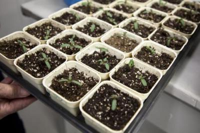 астра выращивание рассады