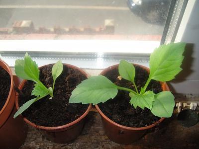 астра рассада выращивание