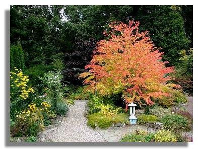 Багряник японский - экзотическое дерево