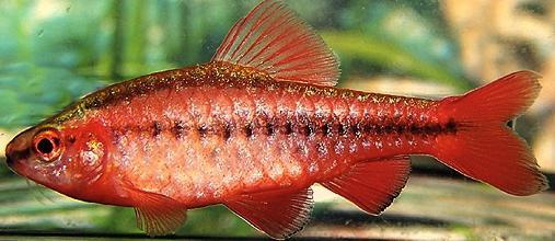 Барбус вишневый – замечательная рыбка для небольших аквариумов