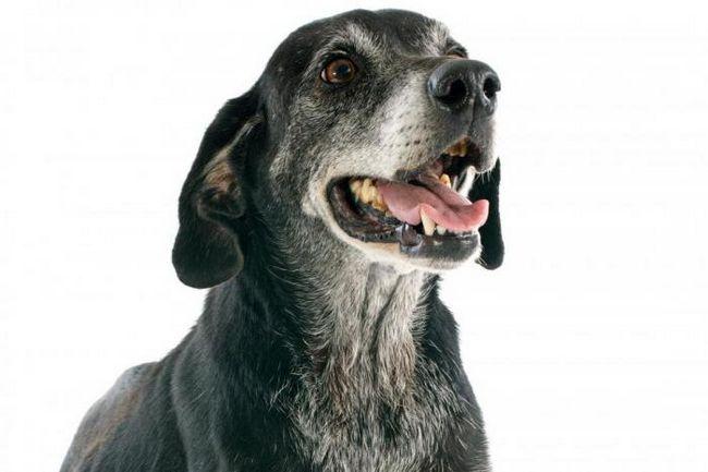 Беспокойство может стать причиной появления седины у собак