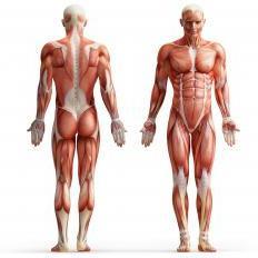 Библия качка: анатомия силовых упражнений