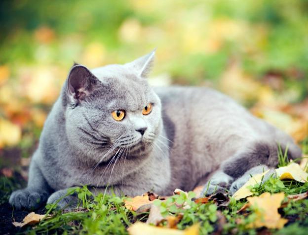 Британские коты характер проявляют всегда