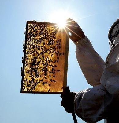 перга пчелиная как принимать