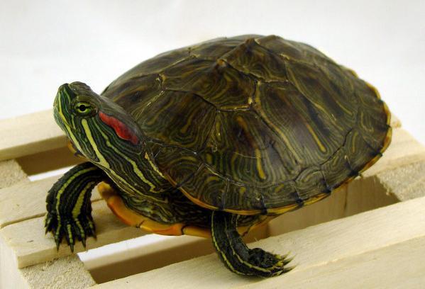 Чем кормить красноухую черепаху?
