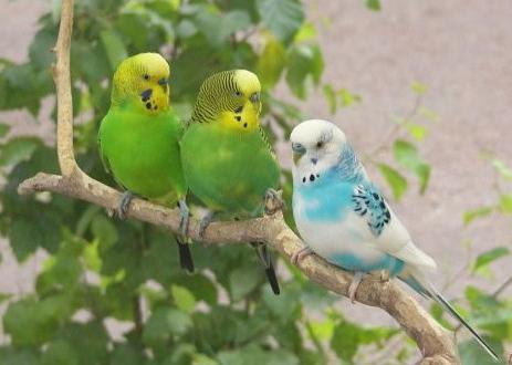 Чем кормить волнистого попугая и как за ним ухаживать