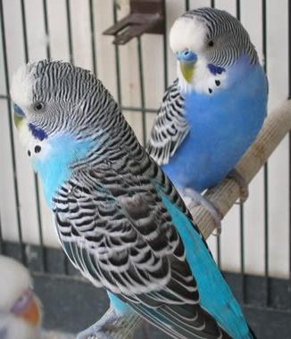Чем кормить волнистых попугаев: советы новичкам