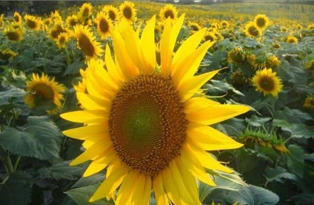 Чем отличается масло подсолнечное нерафинированное от других растительных жиров