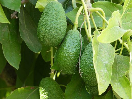 Чем полезен авокадо? Вкусные и ценные секреты