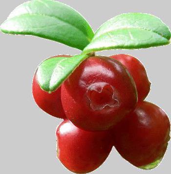 брусника ягода полезные свойства и противопоказания