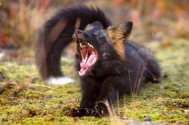 чернобурая лиса в природе
