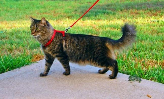Что такое шлейка для кошек, и зачем она нужна?