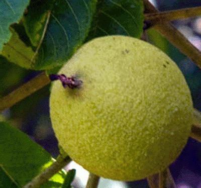 Чем полезен зеленый грецкий орех