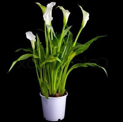 калла цветок в домашних условиях