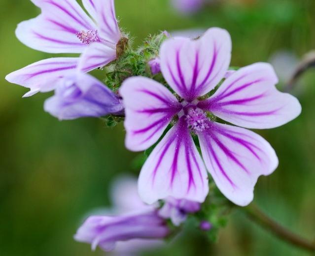Цветы мальвы - декоративное растение на вашей даче