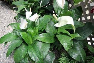 комнатный цветок спатифиллум фото