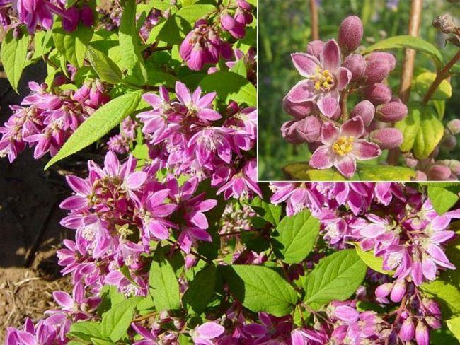 Дейция (кустарник): очаровательное декоративное растение на вашей даче
