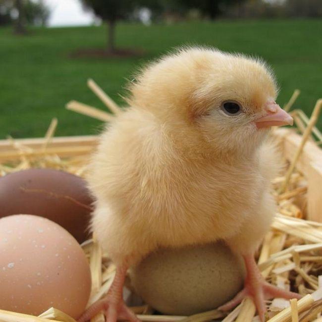 Если в хозяйстве появились суточные цыплята, чем кормить птенцов?