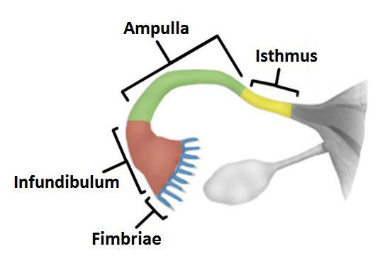 фаллопиевы трубы у женщин