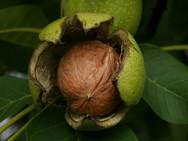 грецкий орех калорийность 1 ореха