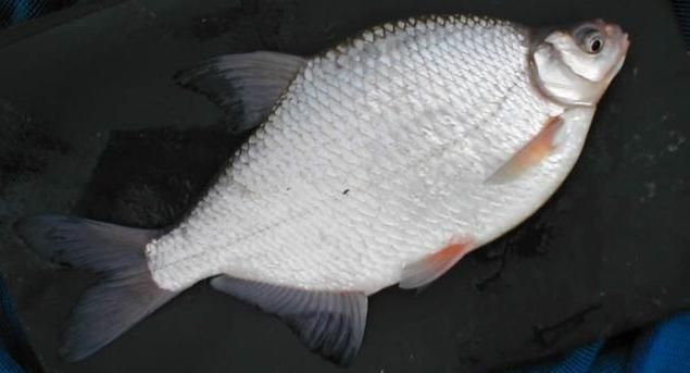 Густера - рыба пресных водоемов