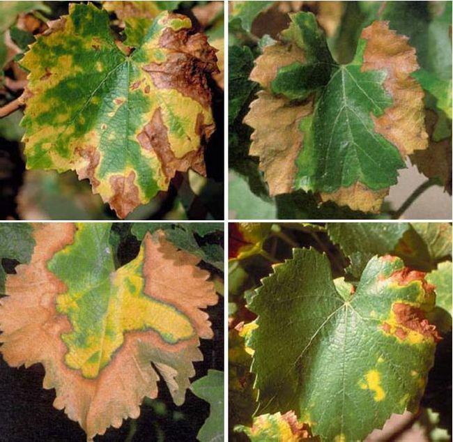 Хлороз листьев: описание, фото, методы борьбы