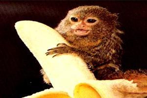 Игрунка карликовая: нежная и милая самая маленькая обезьянка в мире