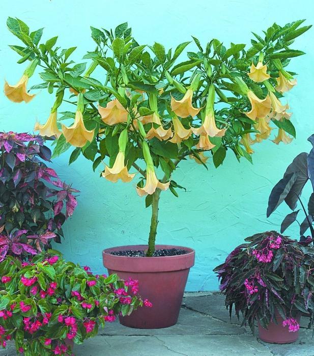 Экзотическая бругмансия: выращивание в домашних условиях