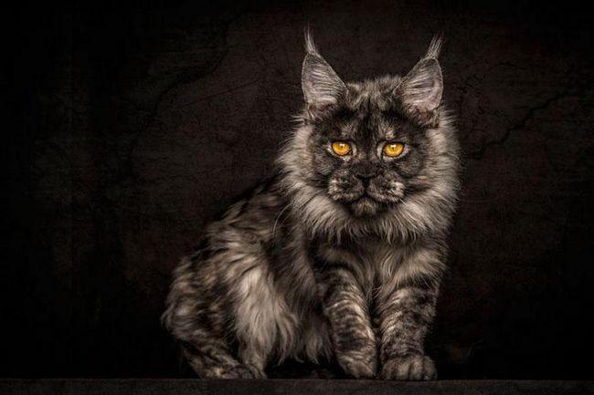 Эти фотографии доказывают, что мейн-кун - настоящее чудо среди кошек