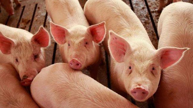 вес свиней живой вес