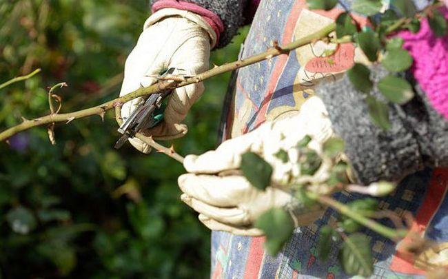 Как посадить плетистую розу весной