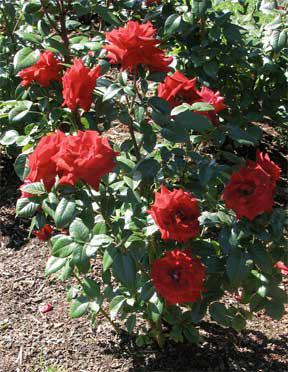 Как посадить розу весной с открытой корневой системой