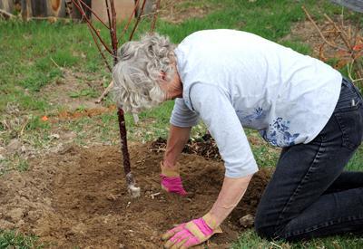 как посадить сливу весной