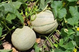 Как произвести выращивание дыни
