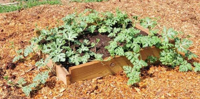 Как сажать арбузы – советы для хорошего урожая