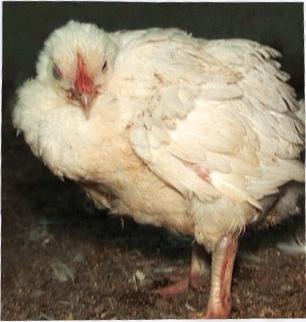 Как сделать выращивание цыплят-бройлеров в домашних условиях успешным?