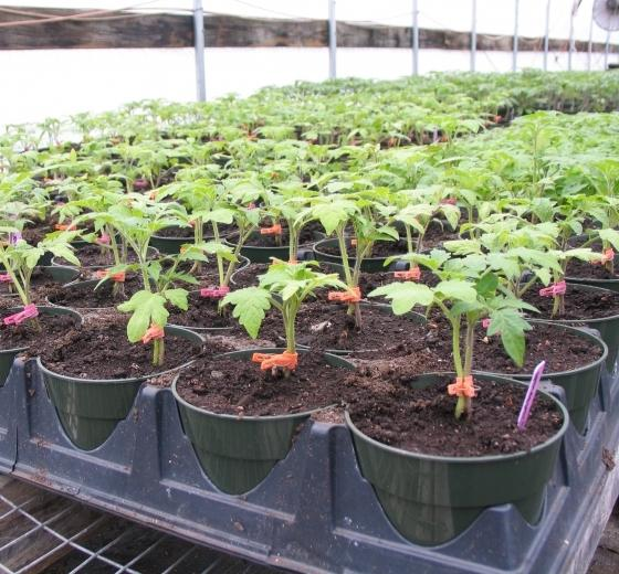 Как ухаживать за помидорами в теплице, чтобы добиться отменного урожая?