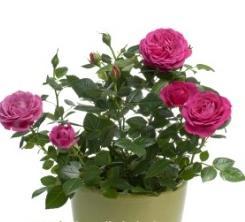 Как ухаживать за розами в горшке: советы начинающим цветоводам