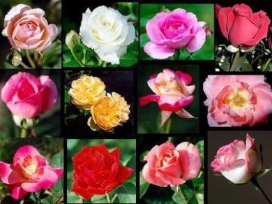 Как укоренить розу из букета? Несколько полезных советов