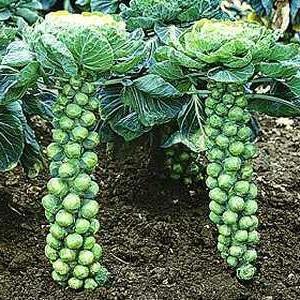 Как вырастить брюссельскую капусту с максимальным урожаем