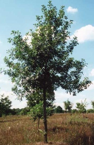 как посадить дуб из желудя