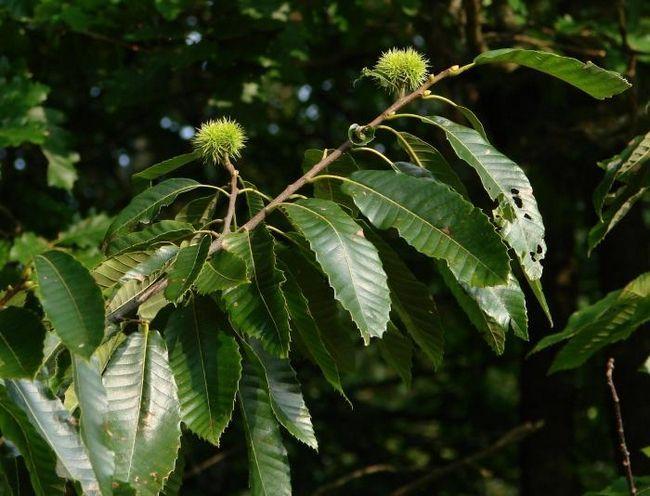 как вырастить дерево каштан